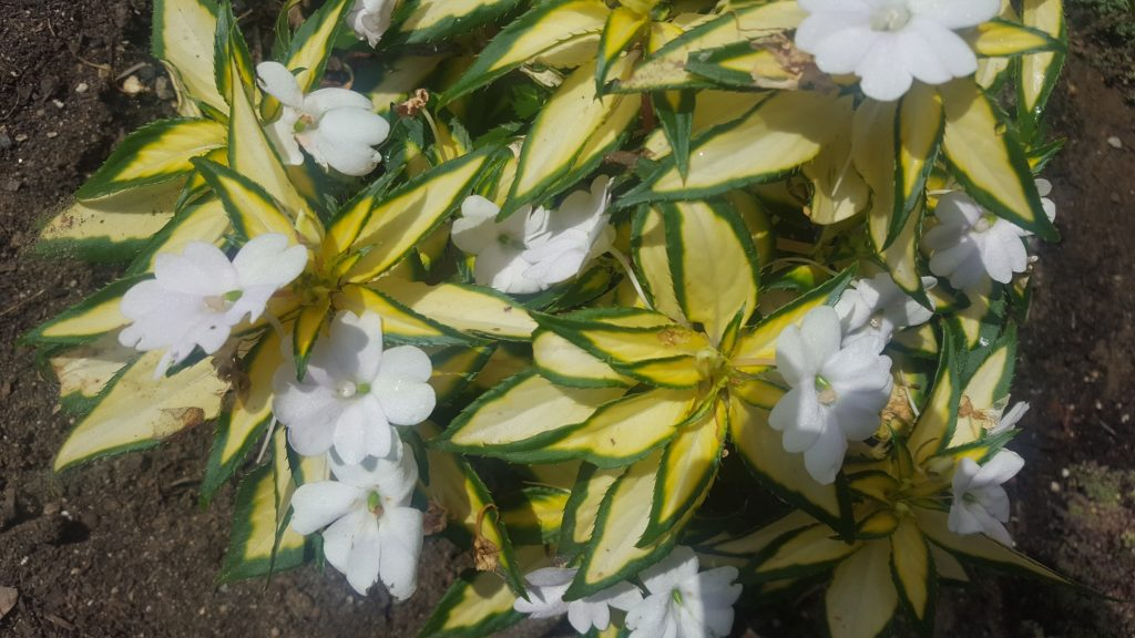 Vigorous Tropical white SunPatiens.1
